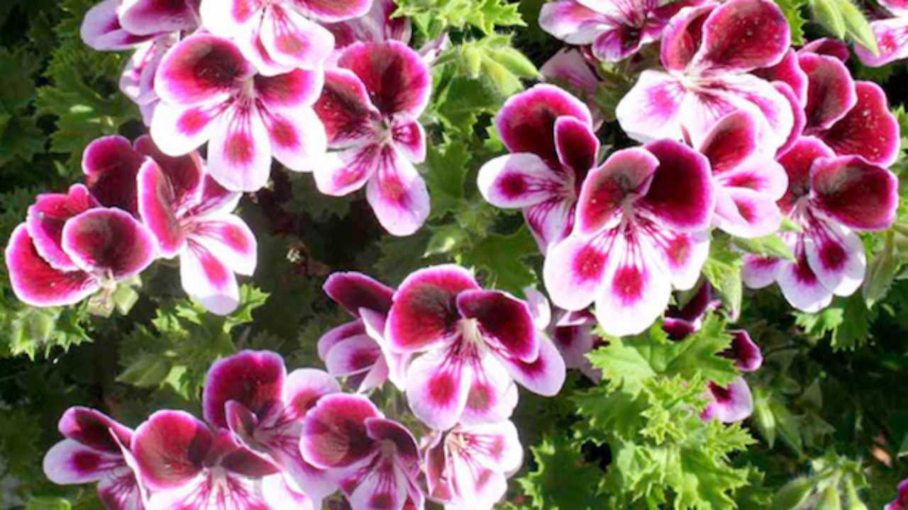 Quante Varietà Di Rose Esistono varietà di gerani - idee green