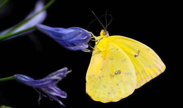 Piante per attirare le farfalle