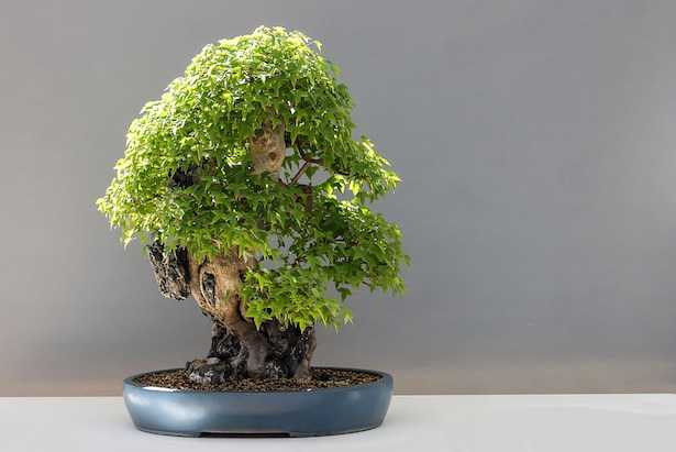 Scegliere un bonsai