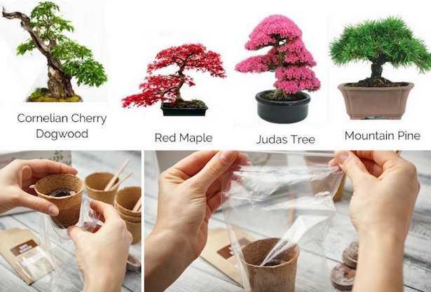 coltivazione bonsai da seme