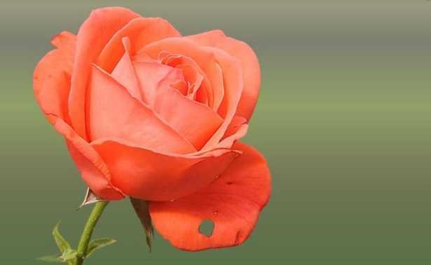 Come Seccare Le Rose Consigli Idee Green