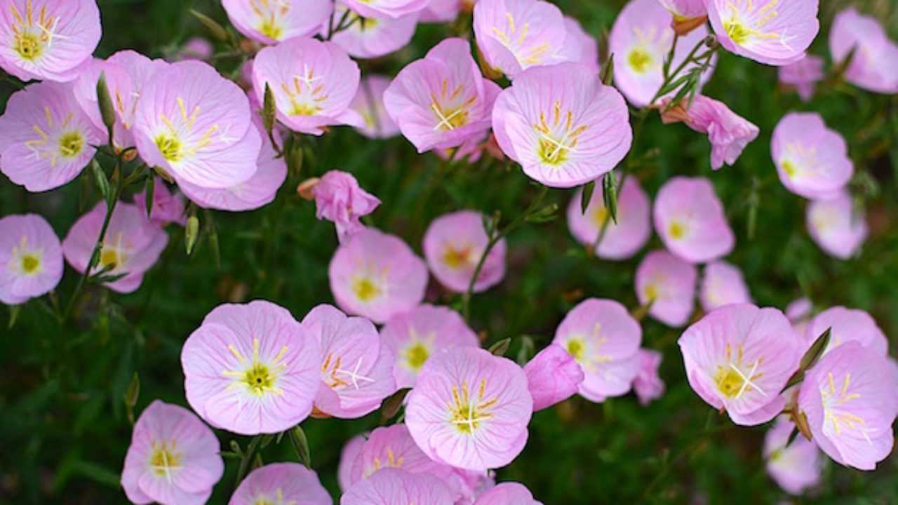 Fiori Tappezzanti Per Aiuole fiori perenni - idee green