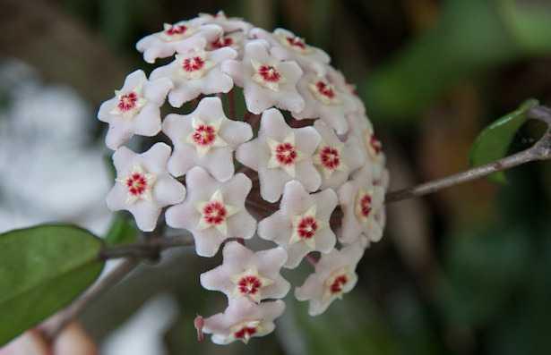 hoya carnosa fiore di cera costo pianta