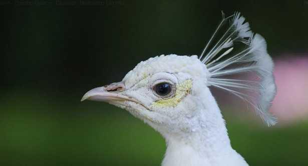 Pavone albino