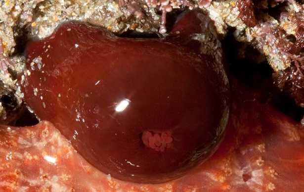 Pomodoro di mare