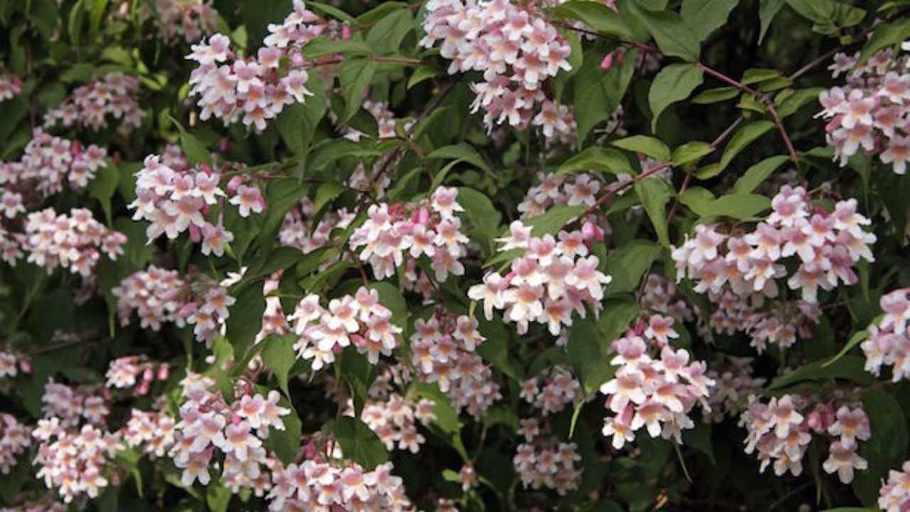 Cespugli Sempreverdi Con Fiori arbusti da fiore - idee green
