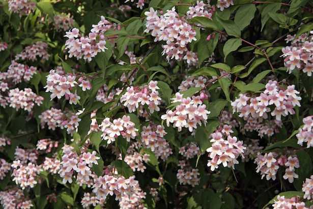 Arbusti da fiore idee green for Cespugli fioriti perenni da giardino