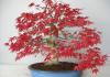 bonsai acero rosso giapponese