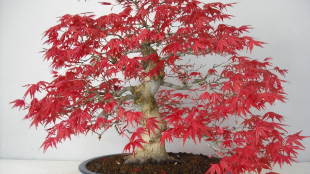 Pianta Foglie Rosse E Verdi bonsai di acero rosso - idee green
