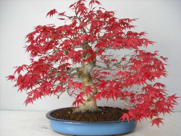 Bonsai di acero rosso idee green for Acero rosso canadese prezzo