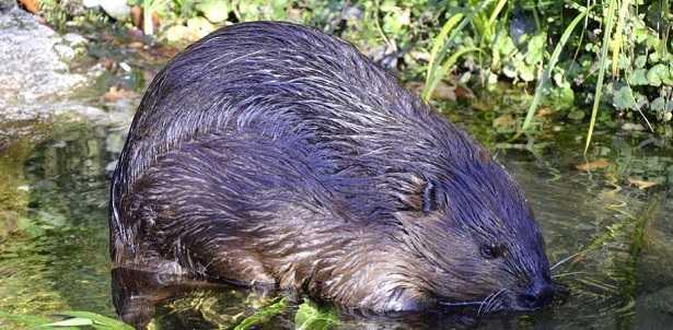 Castoro: animale che crea dighe