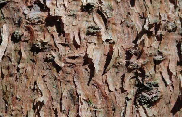 Corteccia albero