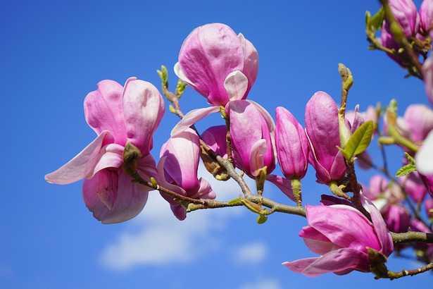 magnolia in vaso