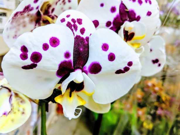 orchidea fiorita