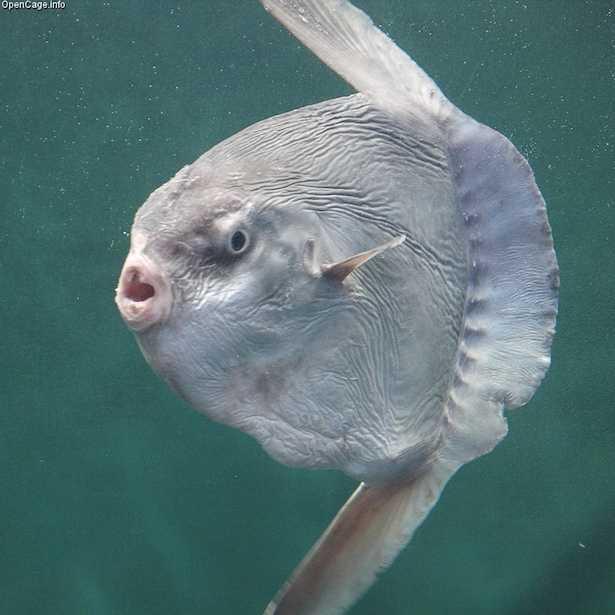 pesce luna dimensioni
