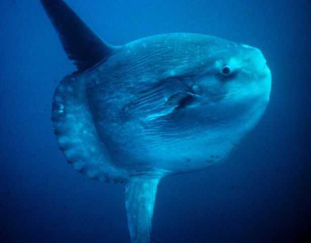 pesce luna gigante