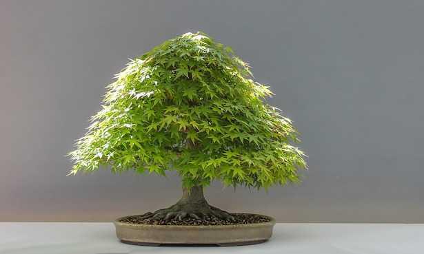 tipi di bonsai di acero cure