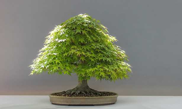 Tipi di bonsai di acero e cure idee green for Tipi di bonsai
