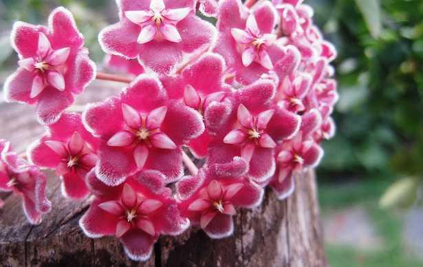 Hoya carnosa non fiorisce