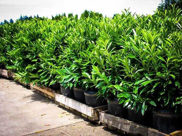 Siepe di lauroceraso in vaso o giardino idee green - Siepe in vaso terrazzo ...