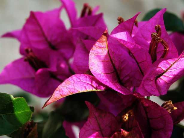 bouganville che non fa fiori