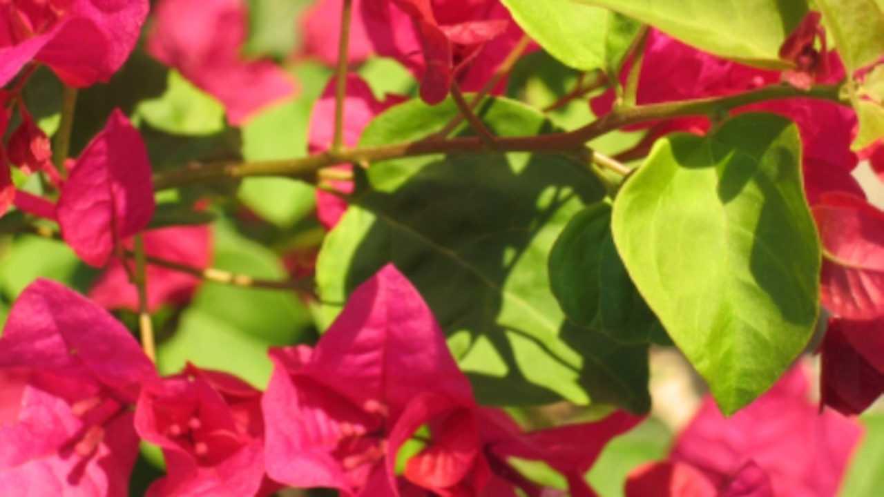 Quando Potare Il Bouganville bouganville non fiorisce - idee green