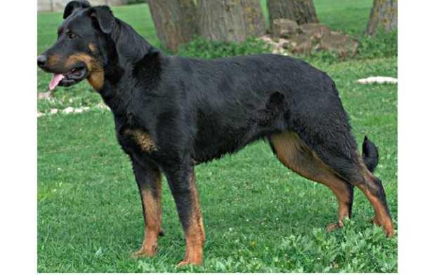 cane da pastore di Beauce