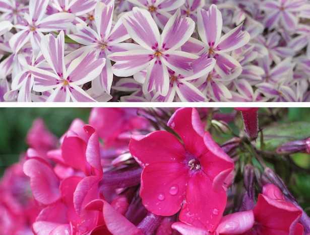 fiori di phlox