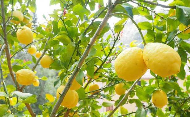 limone perde foglie