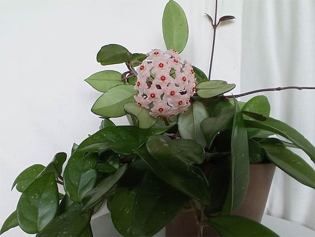 pianta di hoya fiorita