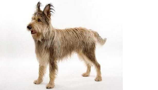 Cane da pastore di Piccardia