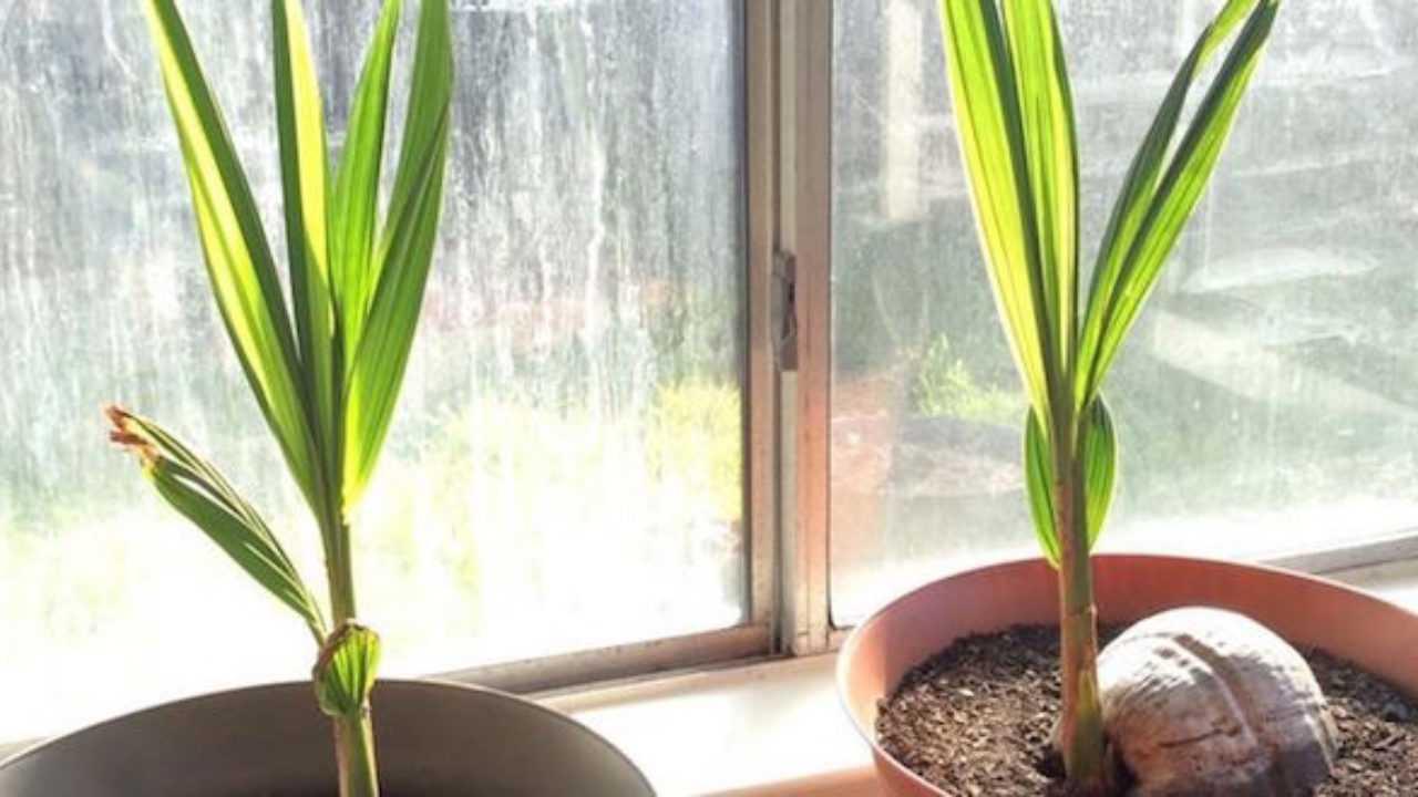 Palme Da Vaso Per Esterno coltivare la palma da cocco - idee green