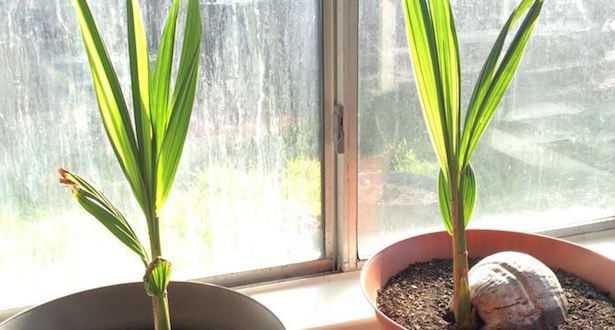 coltivare palma da cocco palma da appartamento