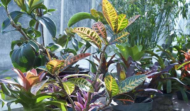 croton codiaeum coltivazione