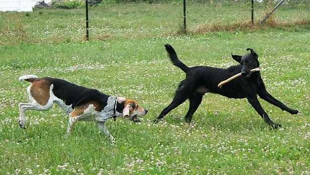 Foxhound Americano
