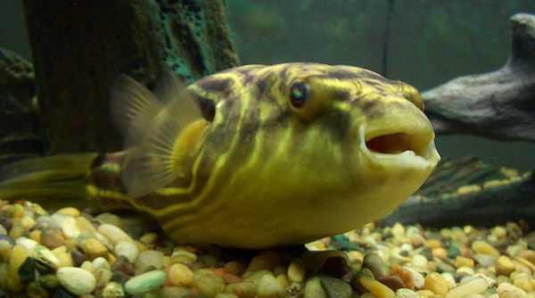 pesce palla di acqua dolce