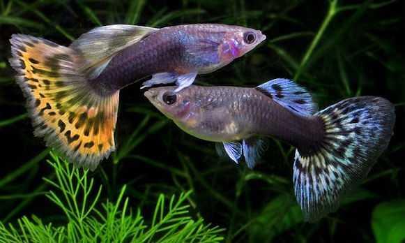 pesci per acquario dolce idee green