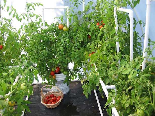 Come coltivare pomodori in inverno