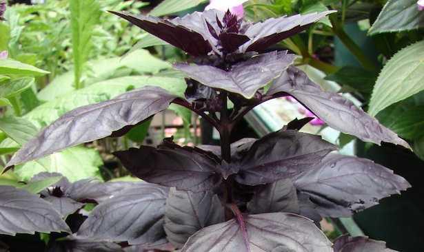 coltivare basilico rosso