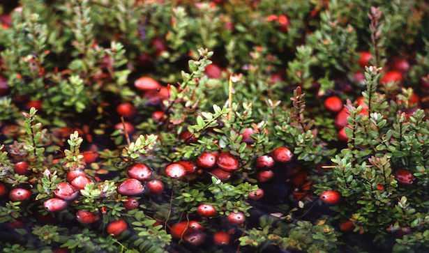 mirtillo rosso pianta