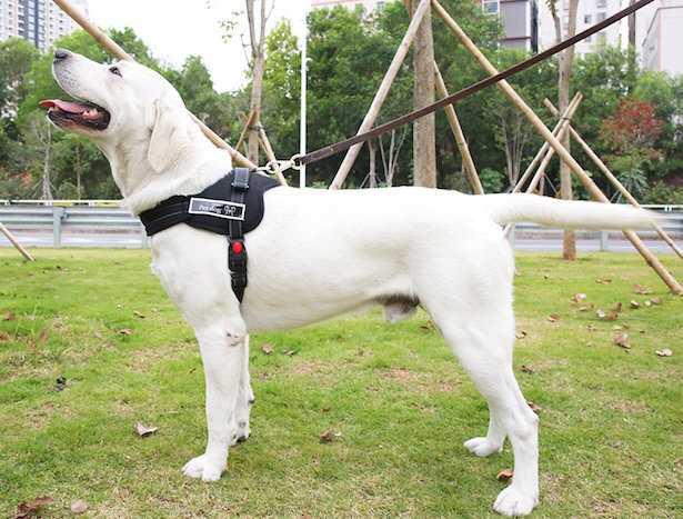 pettorina cane