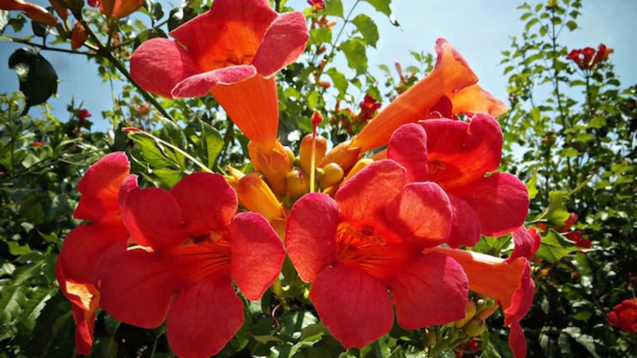 Quando Potare Il Bouganville piante rampicanti con fiori - idee green