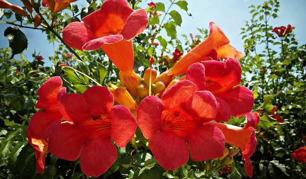 Piante rampicanti con fiori idee green for Piante da giardino rampicanti