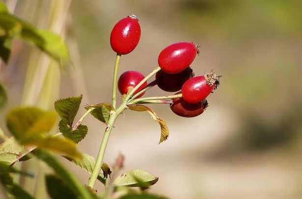 Coltivare rose da seme