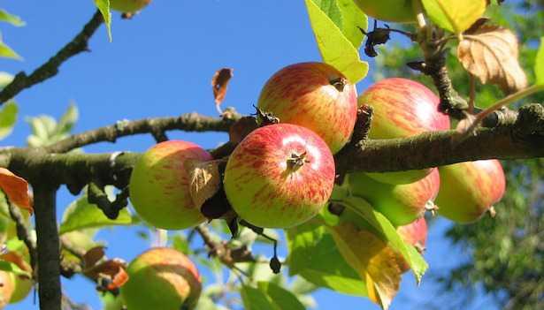 Come piantare un albero da frutto