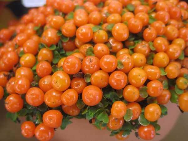 Nertera granadensis pianta