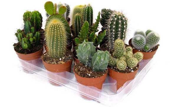 Come curare il cactus