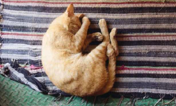 Coda del gatto