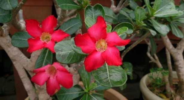 Adenium obesum: fioritura