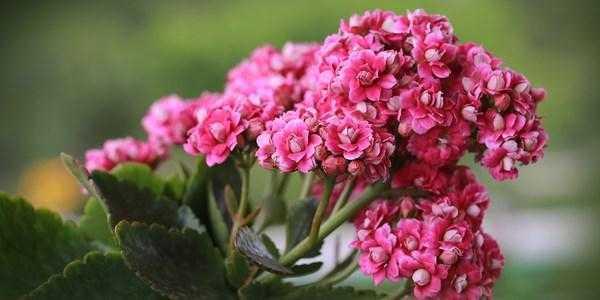 kalanchoe non fiorisce